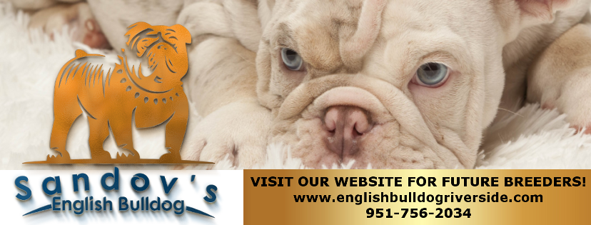 English Bulldog Riverside