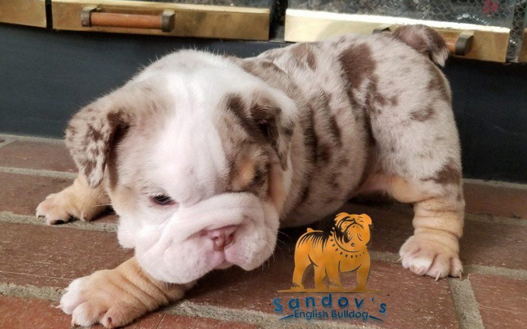 Chocolate Tri Merle English Bulldog Boy