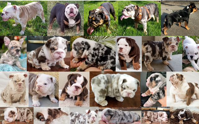 See More Past Puppies English Bulldog Here