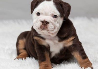 Chocolate tri English Bulldog Casey