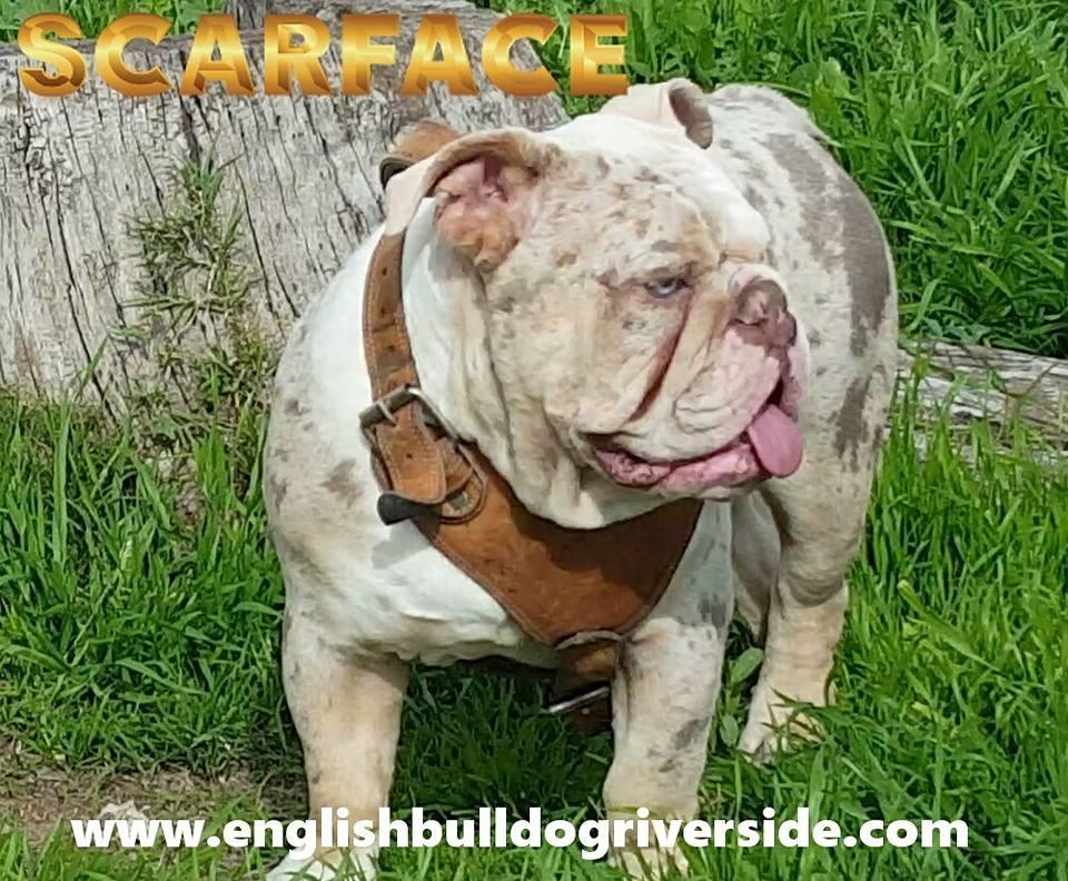 Official Chart Color Welcome To Sandovs English Bulldog