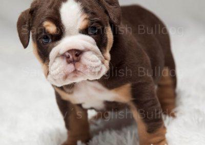 Chocolate Tri English Bulldog Girl