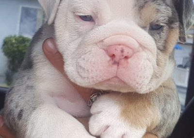 Blue Tri Merle English Bulldog Girl