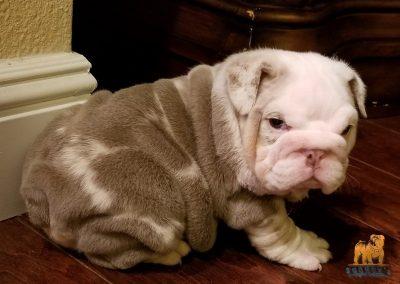 Lilac Tri Merle English Bulldog Scarface Jr