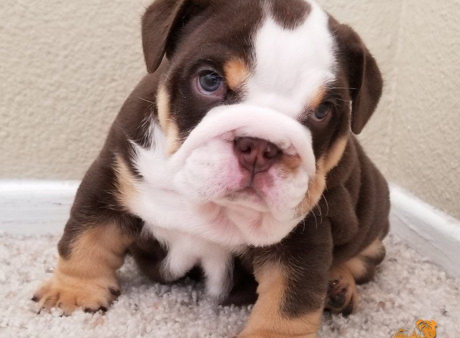 Chocolate Tri Boy English Bulldog