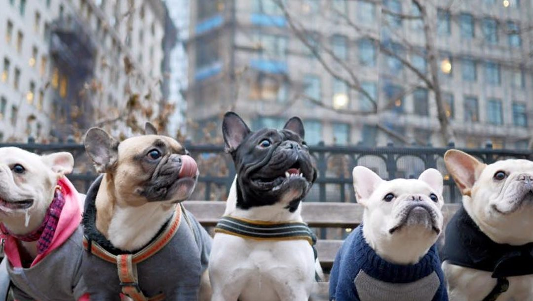 Pardon the French – French Bulldogs in Urban Setting