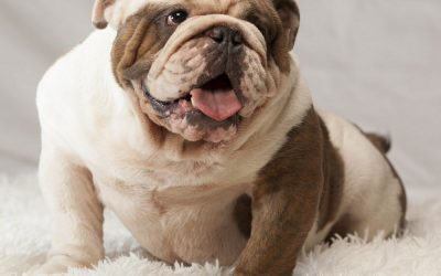 English bulldog Allergies
