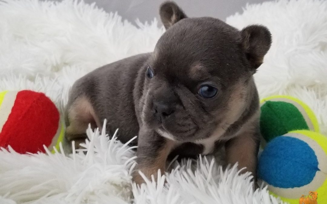 French Bulldog Boy Blue Tri Triple Carrier Chocolate Blue and AT