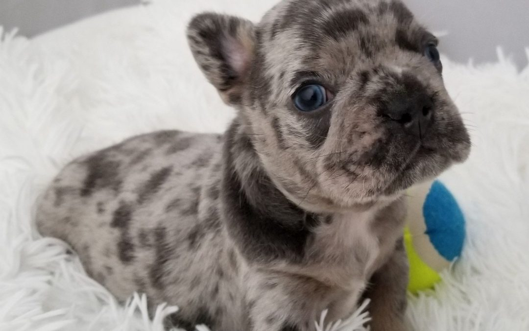 French Bulldog Boy Blue Merle Quad Carrier Chocolate Merle Blue and AT