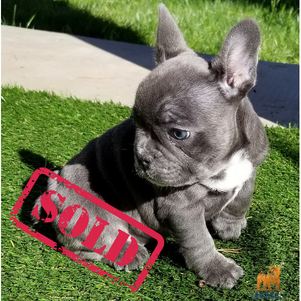 French Bulldog Girl Blue Triple Carrier Chocolate Blue And