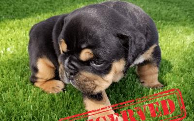 Black Tri Boy English Bulldog