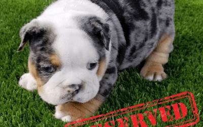 Black Tri Merle Boy English Bulldog