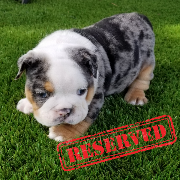 Black Tri Merle Boy English Bulldog