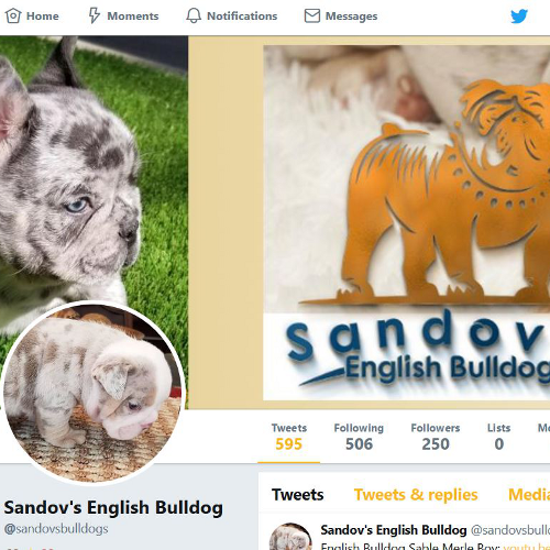 English Bulldog for sale, French Bulldog, Stud Services, AKC