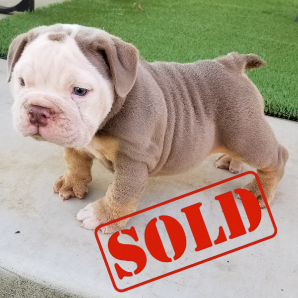 Lilac Tri Girl English Bulldog