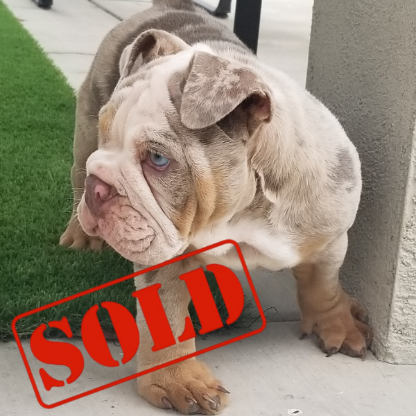 English Bulldog For Sale French Bulldog Stud Services Akc Puppies Exotic And Standards