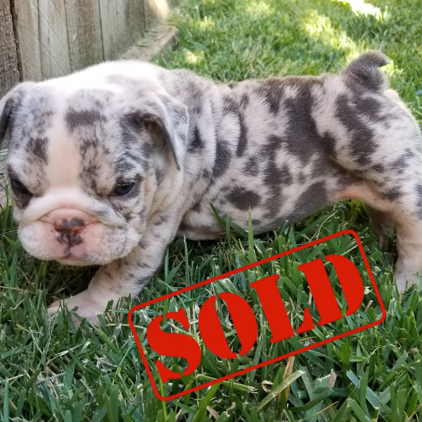 Blue Tri Merle Girl English Bulldog Puppy
