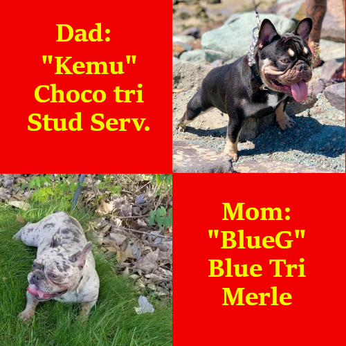 New Litter of French Bulldogs for 09/30/19