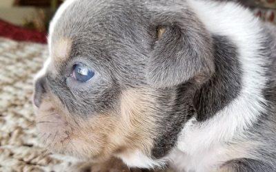 Blue Tri English Bulldog Boy 1