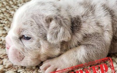 Lilac Tri Merle English Bulldog Boy