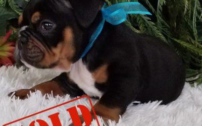 Black Tri Boy English Bulldog Puppy