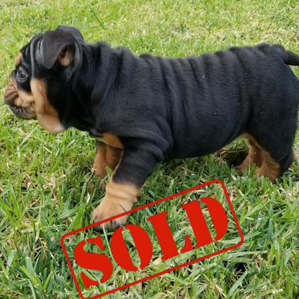 Black Tri English Bulldog Girl Puppy 2