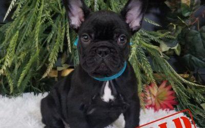 Black Tri Boy French Bulldog