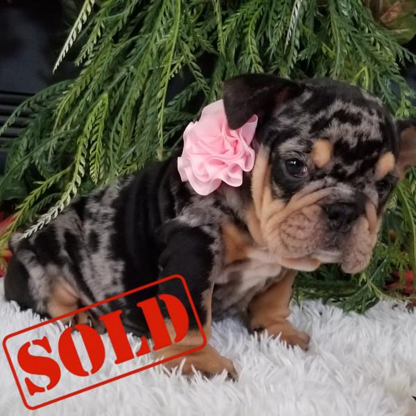 Black Tri Merle English Bulldog Girl Puppy