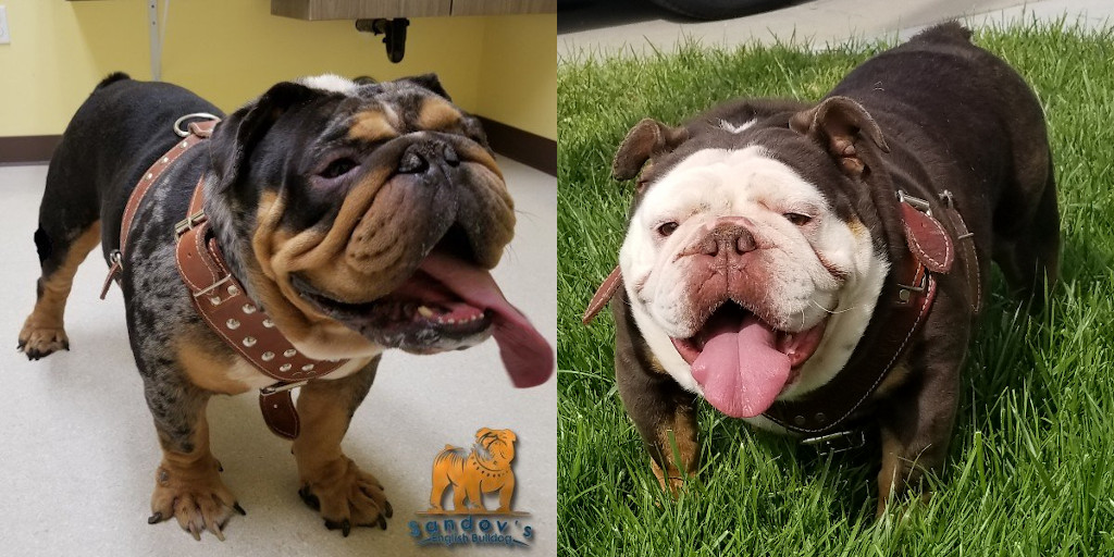 New Litter of English Bulldogs / Scorpion & Casey