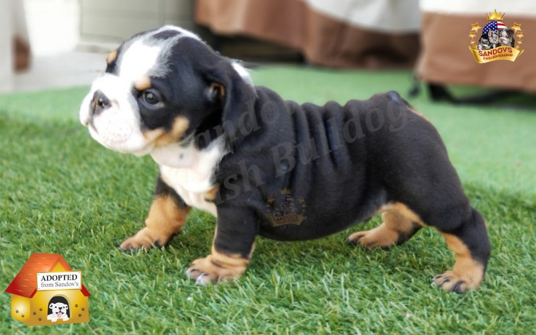 Black Tri Boy English Bulldog Puppy Welcome To Sandov S English Bulldog