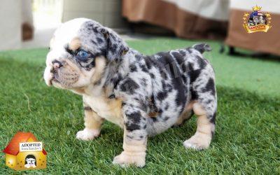 Black Tri Merle Boy English Bulldog Puppy
