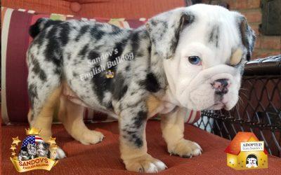 Black Tri Merle Girl English Bulldog Puppy